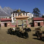 yak at tengboche2be42f453c376202f4a8f0e1ae281b82